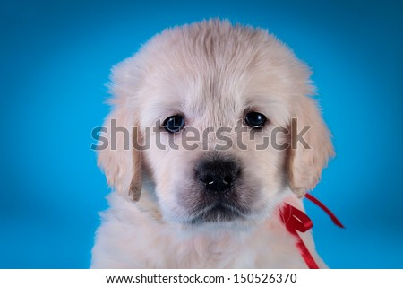 cute golden retriever puppy on a colored background - stock photo