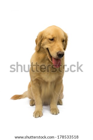 cute golden retriever sitting waiting for order isolated in white background with clipping path
