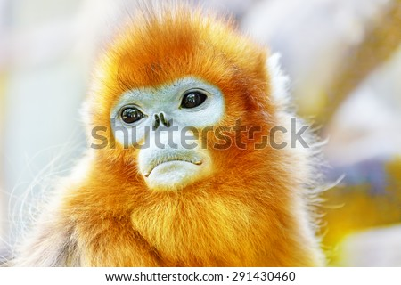 Cute golden Snub-Nosed Monkey in his  natural habitat of wildlife. - stock photo