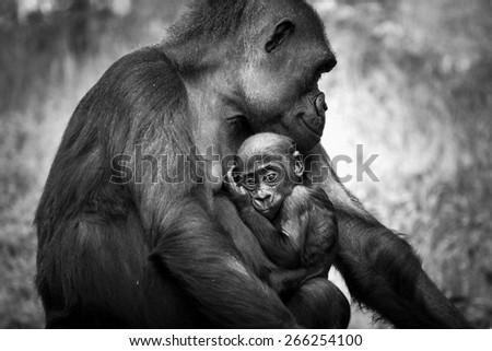 Cute gorilla baby - stock photo