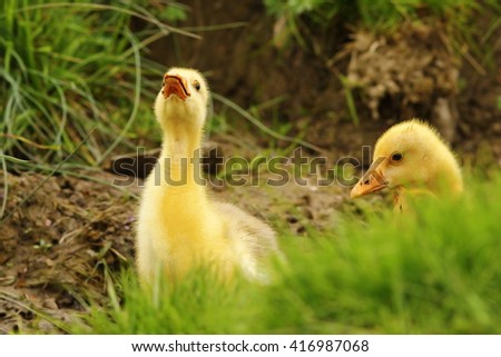 cute gosling being angry at the photographer - stock photo
