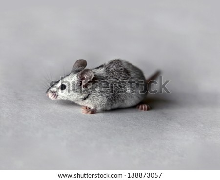 Cute gray and white mouse
