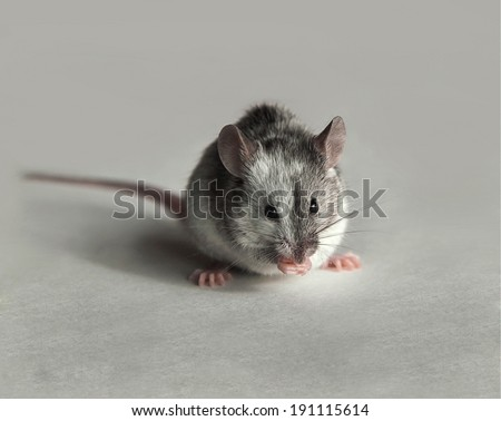Cute gray and white mouse - stock photo