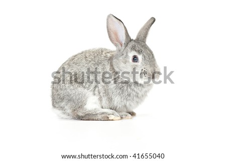 Cute gray baby rabbit on white background