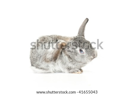 Cute gray baby rabbit scratching its ear with its foot on white background