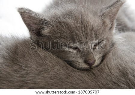 Cute gray baby shorthair kitten sleeping on a litter mate on white background