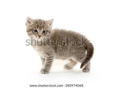 Cute gray baby tabby kitten isolated on white background