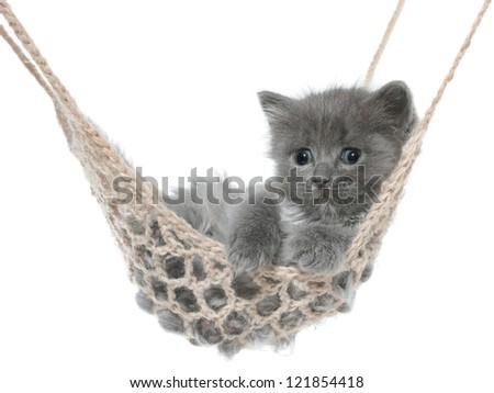 Cute gray kitten in hammock on a white background. - stock photo