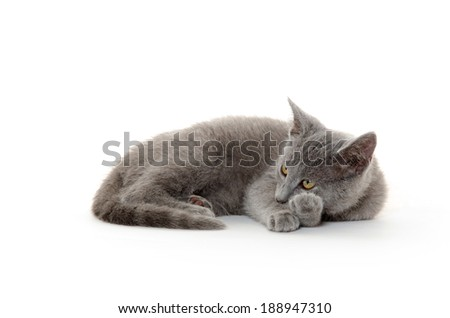 Cute gray kitten laying down on white background - stock photo