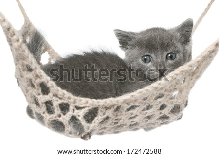 Cute gray kitten lying in hammock on a white background.