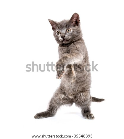 cute gray kitten on hind legs swinging its paws while playing