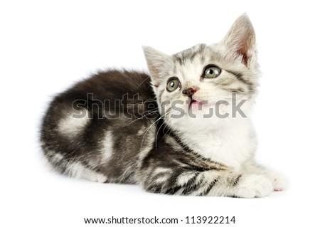 cute gray kitten over white background - stock photo