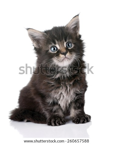 Cute gray kitten standing on a white background