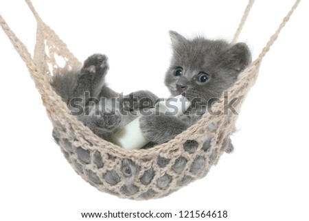 Cute gray kitten sucks milk bottle in a hammock on a white background. - stock photo