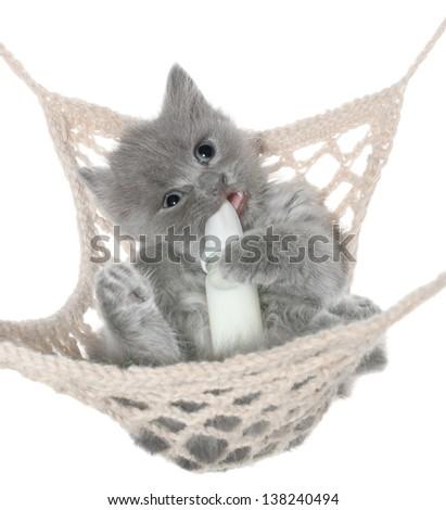 Cute gray kitten sucks milk bottle in a hammock top view on a white background. - stock photo