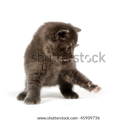 Cute gray kitten swinging its paw and playing on white background