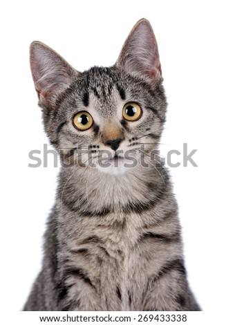 Cute gray kitten with yellow eyes, close-up portrait on a white background - stock photo