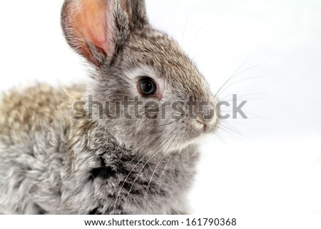 Cute gray rabbit isolated on white background