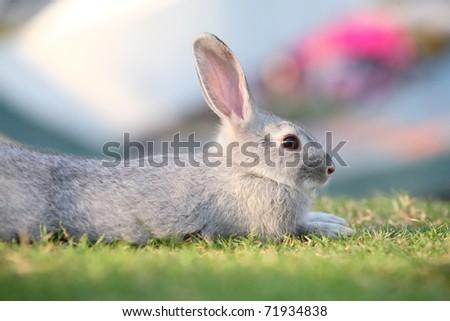 cute gray rabbit sitting in field. - stock photo