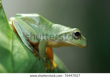 Cute green Frog on green leaf - stock photo