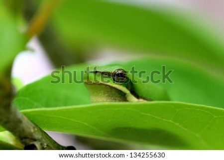 Cute green tree frog  sitting in a leaf - stock photo