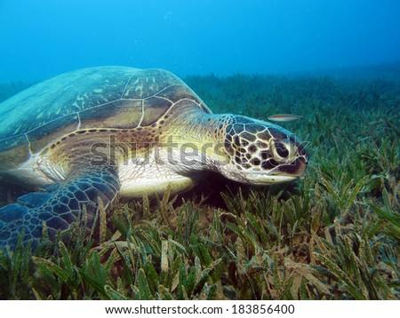 Cute green turtle feeds on seagrass