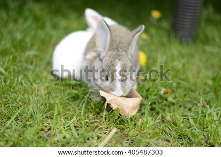 Cute grey belgian rabbit on this green grass. Cute easter present.