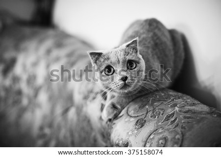 Cute grey british short hair cat posing on luxury couch closeup b&w - stock photo