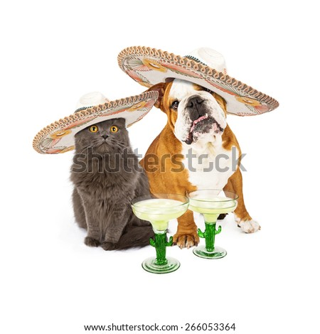 Cute grey cat and bulldog sitting together celebrating Conco De Mayo wearing mexican sombreros with margarita cocktails - stock photo