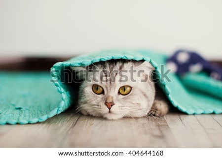 cute grey cat peeks out from under the mat
