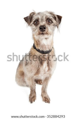 Cute grey color mixed terrier breed dog sitting down and looking forward into the camera