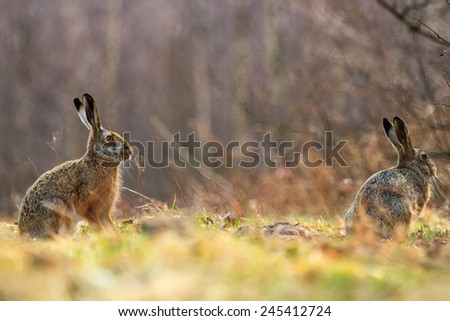 cute grey hare standing on the grass, nature series - stock photo