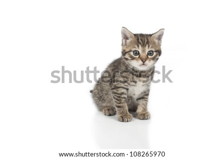 Cute grey kitten isolated on white background