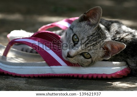 Cute grey tabby cat playing with flip flop shoe.