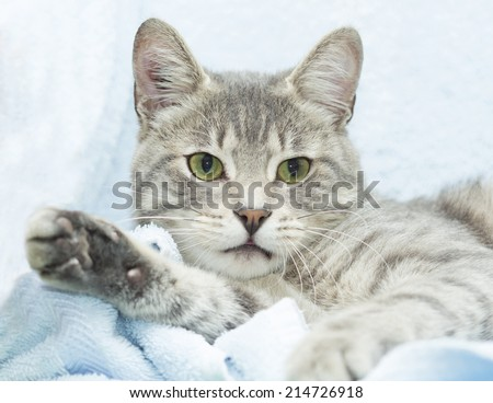 cute grey tabby cat  relaxing on a blue blanket - stock photo