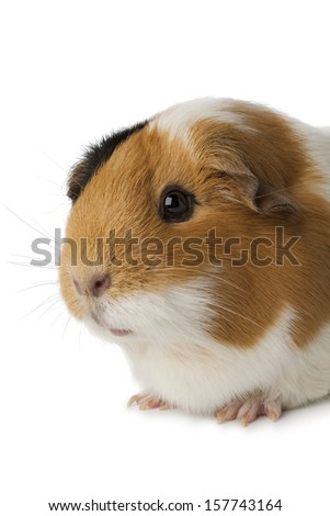 Cute guinea pig  close up on white background