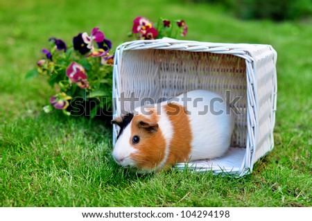 Cute guinea pig on the grass - stock photo