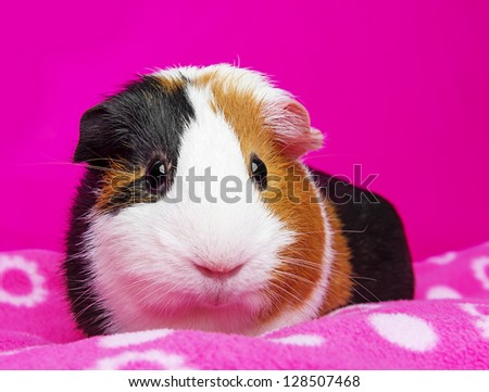 cute guinea pig - pink background - stock photo