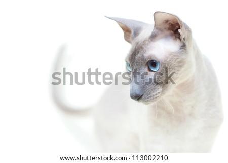 cute hairless oriental cat close up, peterbald - stock photo