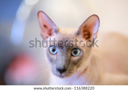 cute hairless oriental cat close up, peterbald - stock photo