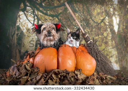Cute Halloween image of a Yorkshire terrier with horns in a pumpkin with a tortoiseshell cat for company filter added for soft surreal effect - stock photo