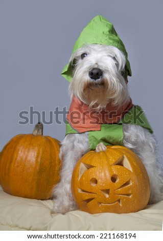 Cute Halloween white dog with trick or treat pumpkin - stock photo
