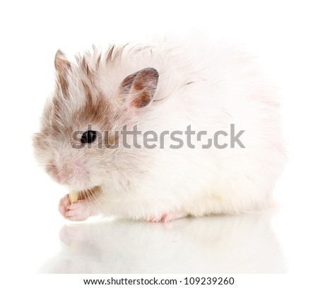 Cute hamster eating cheese isolated white - stock photo