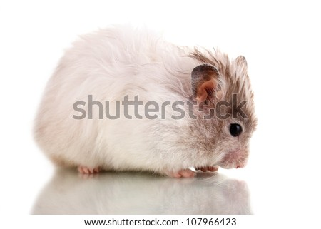 Cute hamster eating sunflower seeds isolated white