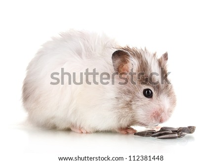 Cute hamster eating sunflower seeds isolated white - stock photo