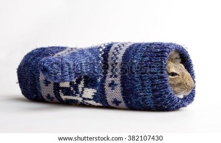 cute hamster inside knitted mitten studio shot on white background - stock photo