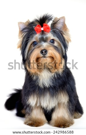Cute handsome groommed mini yorkshire terrier over white with red bow - stock photo