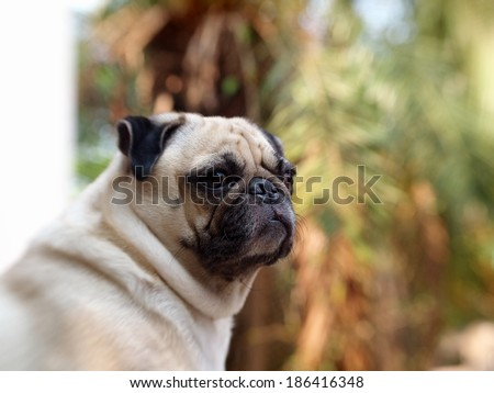 cute happy active white fat pug dog making funny face, sitting on the garage floor outdoor under soft morning sunlight with green environment background - stock photo