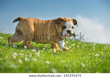 Cute happy english bulldog puppy playing on fresh summer grass