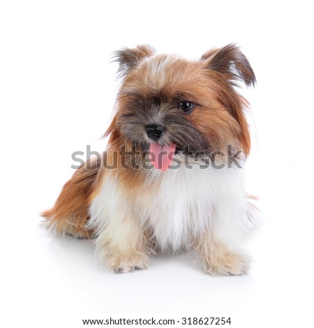 Cute happy shih tzu puppy sitting, isolated on white background - stock photo